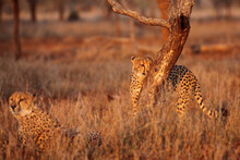 The Cheetah (Acinonyx Jubatus), A Large Male Behind A Trunk In Control Of The Territory. The Second Male In The Foreground. A Pair Of Cheetah Brothers In A Coalition In Dry Yellow Grass.