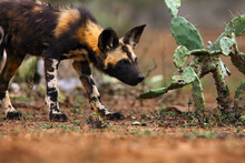 Portrait Of African Wild Dog, African Hunting Dog, Or African Painted Dog (Lycaon Pictus) With Green Backround. Portrait Of A Dog Near The Green Prickly Pear.
