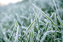 Close Up Of Grass Plants In The Morning Frost