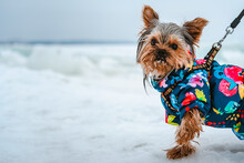 Yorkshire Terrier Dog In Warm Suit Walks Outside With Winter Snowy Landscape