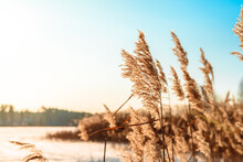 Fluffy Reeds Swaying In The Wind On A Sunny Winter Day. Beautiful Natural Background