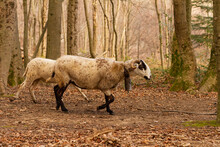 A Selective Focus Shot Of Goats (Capra Aegagrus Hircus), Montseny Natural Park