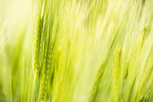A Closeup Of Green Wheat Stalks In The Wind, Outdoors