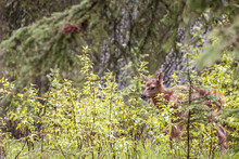 A Cute Elk Fawn Between Plants, In A Forest In Canada During Daylight