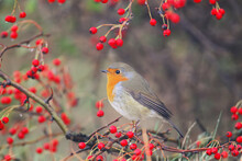 European Robin (Erithacus Rubecula) Sits On A Branch Of A Hawthorn Bush Surrounded By Bright Red Berries