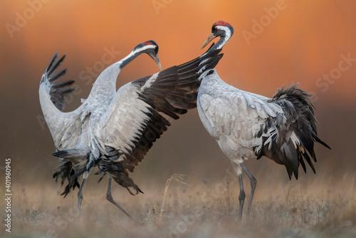 Fototapeta premium Common crane ( Grus grus ) pair mating