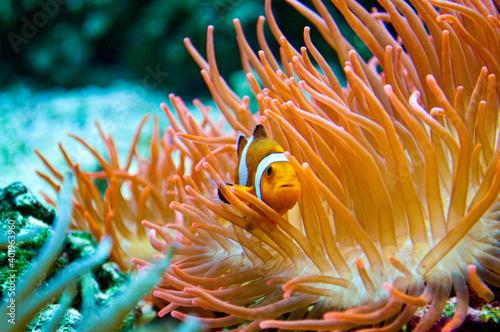 Fotografiet Pesce Pagliaccio - Clownfish