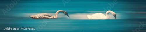 Fotografie, Obraz A dreamy surreal scene of two swans on blurred smooth blue background