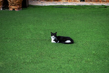 A Black And White Self-confident Stray Cat Lies On A Green Artificial Grass Surface In Alanya, Turkey. Beautiful Adult Pet Isolated On Green Background, Outdoors