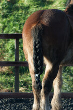 Clydesdale Horse Tail