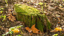 Tree Stump Covered With Moss, In Autumn