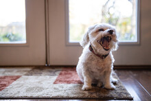 White Havanese Puppy Dog Giving A Wide Yawn And Showing Fierce Looking Teeth