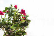 Rose Cordana Mix In A Pot On A White Background Close-up