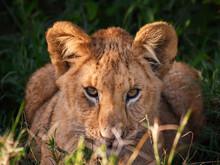 A Selective Focus Shot Of A Cute Lion Cub