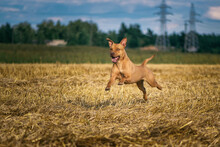 Cheerful American Pit Bull Terrier Frolics On A Summer Field.