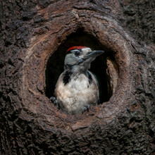 Great Spotted Woodpecker ( Dendrocopos Major) Cautiously Peeks Out Of The Hole In A Tree In The Forest Of Drunen, Noord Brabant In The Netherlands.