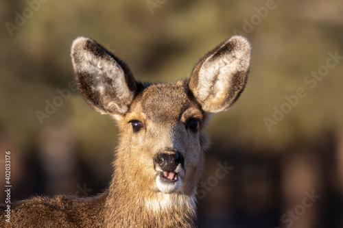 Young Mule Deer Doe