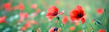 Blooming Poppy Field, Red Wildflowers Close-up. Idyllic Summer Rural Scene. Macrophotography, Natural Floral Pattern, Texture, Background. Botany, Gardening, Agriculture. Panoramic View