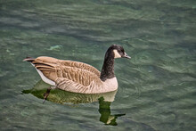 Canada Goose(Branta Canadensis)swims In Clear Water With A Reflection Over A Rocky Bottom