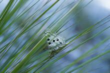 Un Bell'esemplare Di Parnassius Apollo Nel Suo Habitat Naturale, Alle Prime Luci Del Mattino Una Bella Farfalla Comincia A Muoversi Tra I Fili D'erba