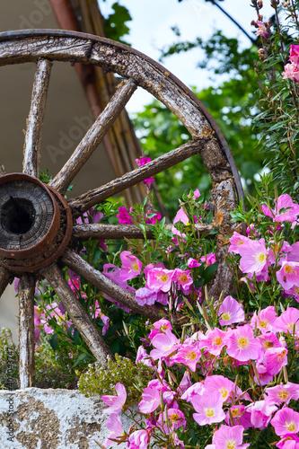 Obraz na plátně Pink flowers bush and wooden wheel