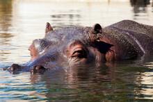 Hippopotamus Head In Surface Level Water
