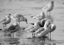 Black-headed Gulls Resting At Busaiteen Coast, Bahrain. A Highkey Image
