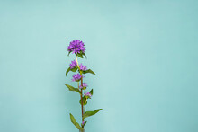Campanula Glomerata Clustered Bellflower, Purple  Flowers Isolated On A Soft Blue Background
