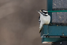 Male Downy Woodpecker (Dryobates Pubescens)