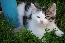 Portrait Of Baby Cat Hiding In Green Grass. Furry White Kitten With Brown Eyes And Spotted Grey Head With Cute Pink Nose Sniffing Air And Looking Into Camera