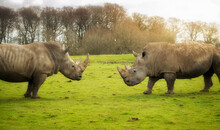Two Southern White Rhinos Facing Each Other