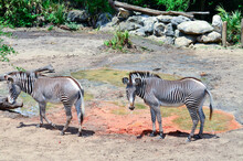 Pair Of Grevy's Zebras At The Melbourn Zoo