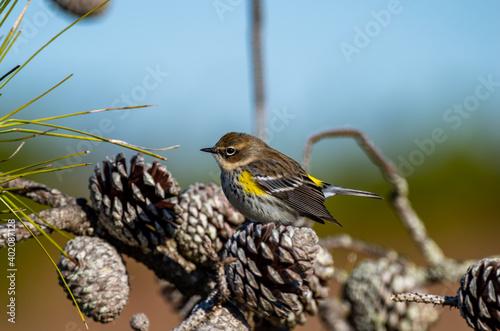 Yellow-rumped warbler on Pine Cone looking Left Wallpaper Mural