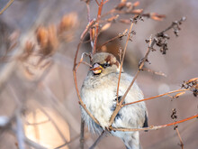 Sparrow Sits On A Bush Branch And Eating Its Seeds