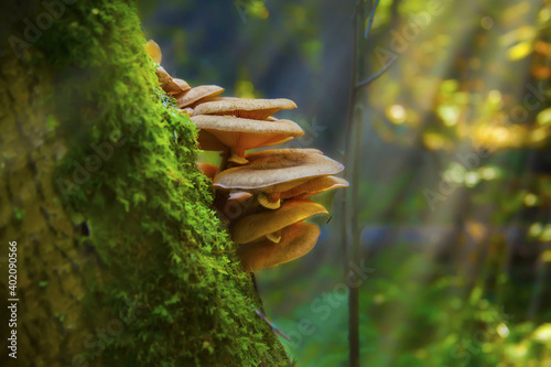 Fototapeta A closeup of wild mushrooms growing on a tree covered in mosses in a forest