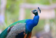 A Beautiful Close Up Peacock With Green And Blue Plumes With Majestic Plumage.