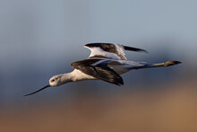 Close-up Of An American Avocet Flying, Seen In The Wild In A North California Marsh