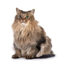 Siberian Cat In Studio