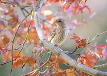 A Selective Focus Shot Of A Female House Finch In A Japanese Red Maple Tree