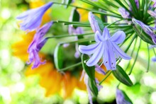 Single Agapanthus Flower In Purple Against A Green And Soft Yellow Garden Background