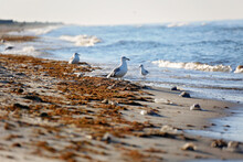 Wild Sea Gulls On A Muddy Beach In Seaweed And Jellyfish After The Surf. Soft Selective Focus.