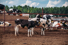 Holstein Frisian Diary Cows In Free Open Stall