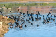 American Coots (Fulica Americana) In Malibu Lagoon, California, USA