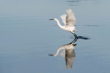 Egret Reflecting In Water Flying Away