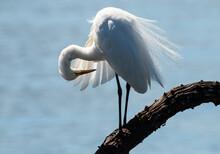 Grande Aigrette,. Ardea Alba, Great Egret