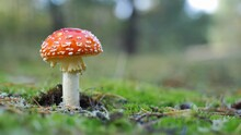 Red Fly Agaric Amanita Muscaria Poisonous Mushroom In Autumn Forest Close-Up