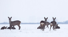 Group Of Delicate Wild Deer (dama Dama) In Winter Landscape, On The Field Outside The Forest. Selective Focus