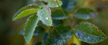 Dew Droplets On The Edge Of Leaves. Nature Freshness