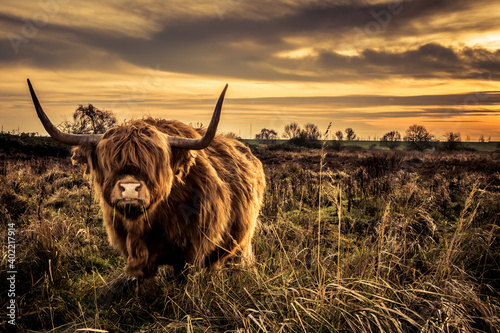 Tableau sur Toile Scottish highlands bull cows in a Dutch nature reserve, in Dinteloord