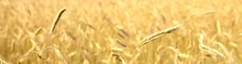 Golden Wheat Agricultural Field Close-up. Abstract Natural Pattern, Texture,. Background, Wallpaper. Idyllic Rural Scene. Farm, Alternative Production, Environment. Panoramic View